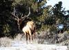 Majestic elk bull