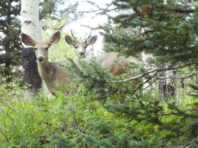 Deer hiding on the Pinyon Mesa