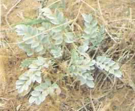 Vetch - horse killer