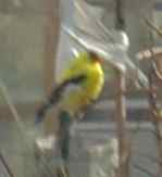 American Goldfinch (Wild Canary)
